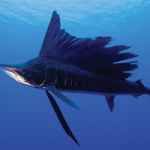 THE SAILFISH FRENZY