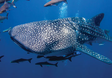 Whale shark Tours in Cancun