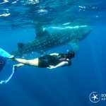 Citizen science with Whale shark encounters.