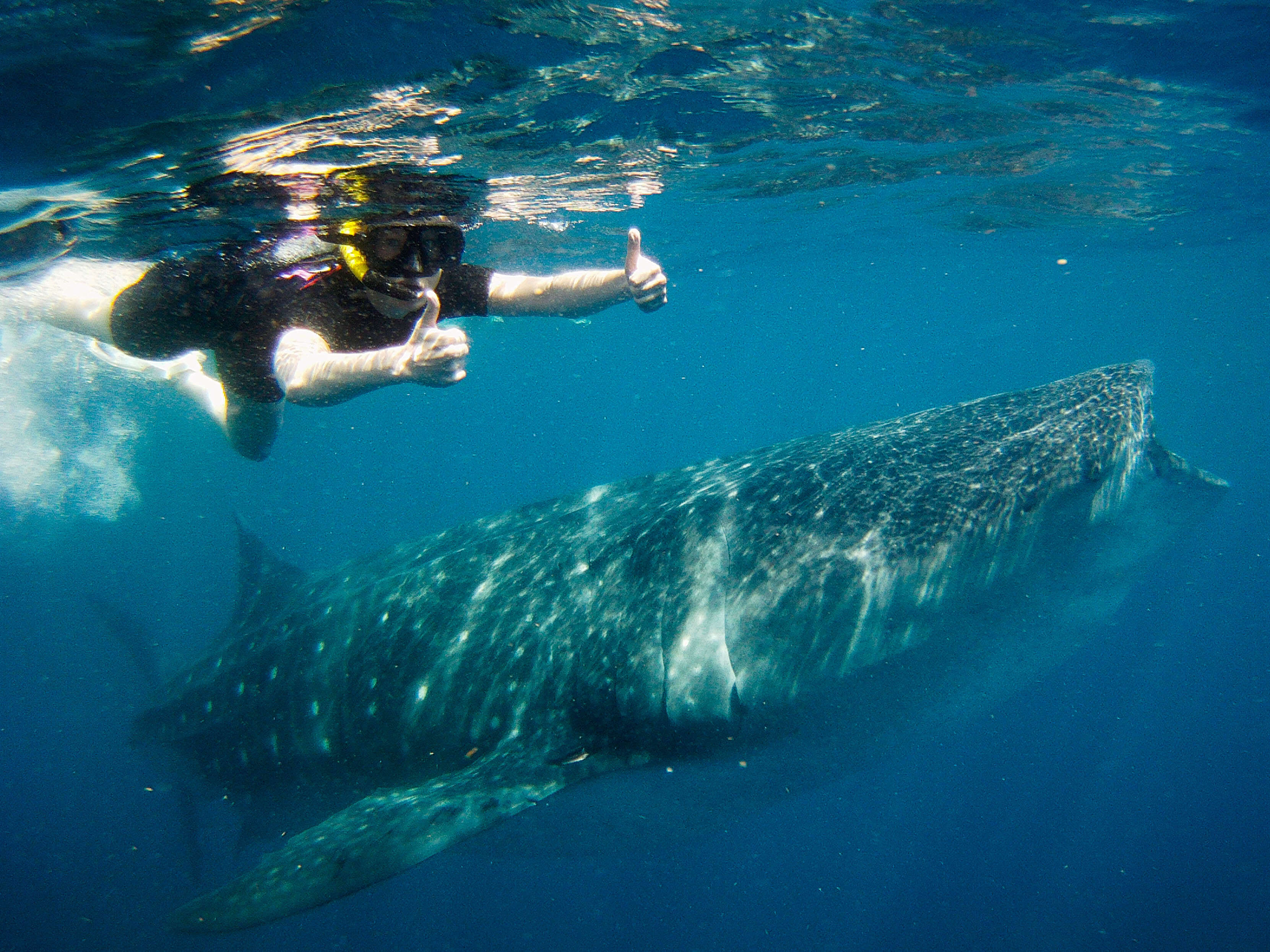 Cancun Whale Shark Tour Riviera Maya Turtles Cenotes Tours