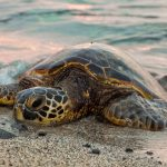 The sea turtles and its threats from Quintana Roo