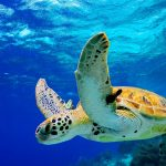 Quick guide to the Sea turtles of Mexico – Part 2