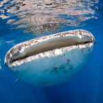 The largest fish in the world: The Whale Shark