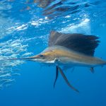 Sailfish Encounters (Istiophorus albicans)