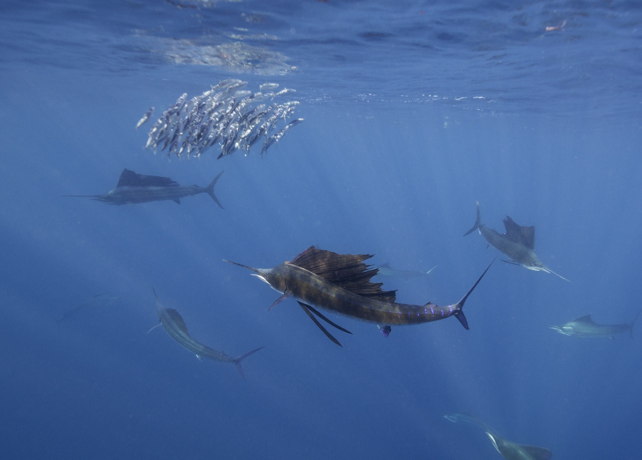 Sailfish Encounters in Playa del Carmen Mexico