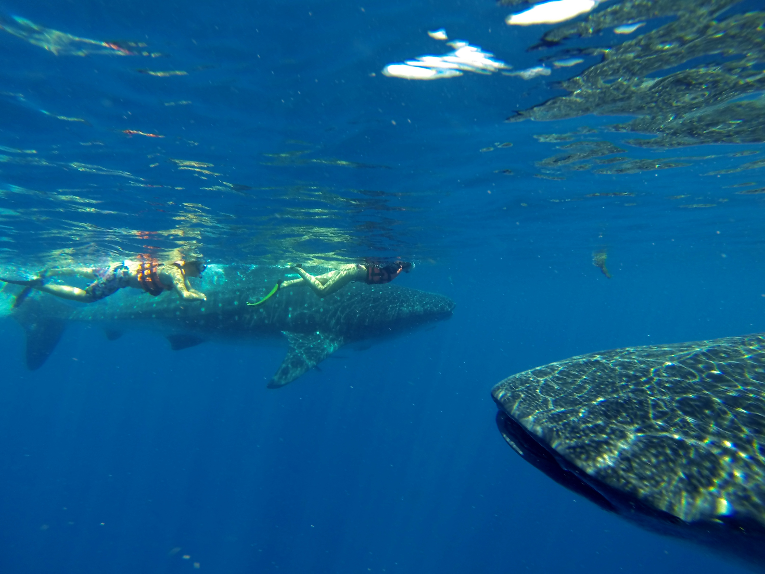 Whale Sharks gentle giant riviera maya